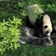 Panda em QING CHENG MOUNTAIN, Ásia